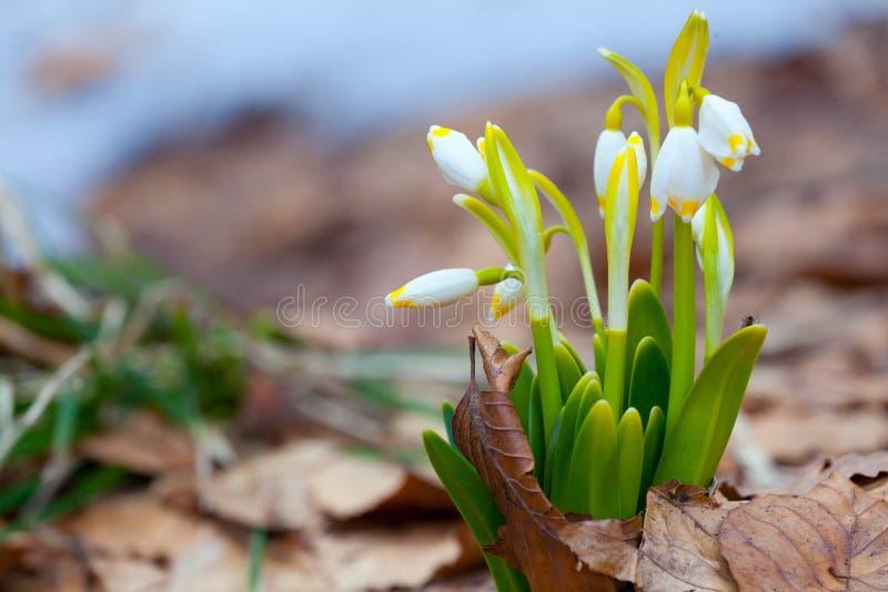 för blommor dal lilly arkivbilder