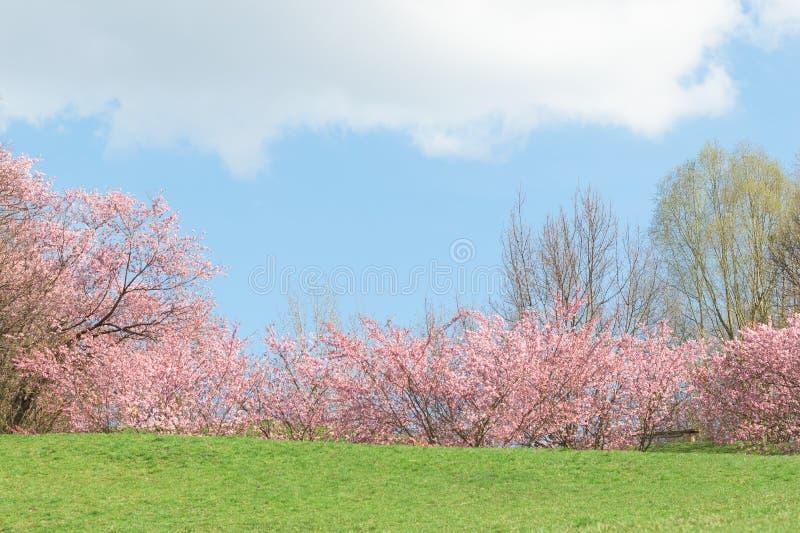 För blomningäpple för vår rosa träd i blommande natursunshin royaltyfria bilder