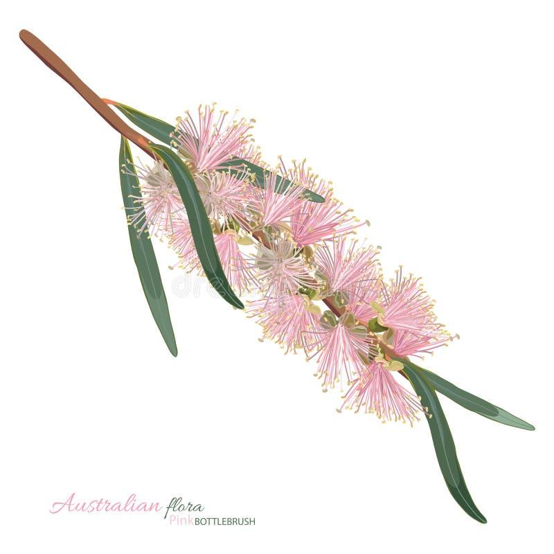 För blomningBottlebrush för pastellfärgade rosa färger blomma royaltyfri illustrationer
