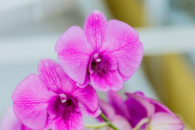 för blurfokus för bakgrund selektivt härligt val för orchid Selektivt fokusera royaltyfria bilder