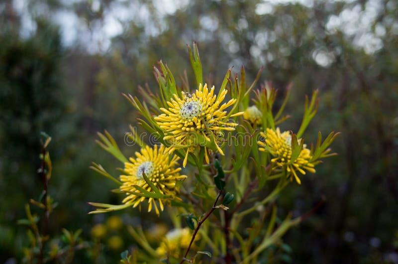 För Bush för australier gul Narrowleaf blomma trumpinne royaltyfri fotografi