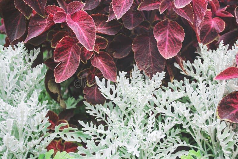 För Bush för Cineraria vita växter gräs arkivbild