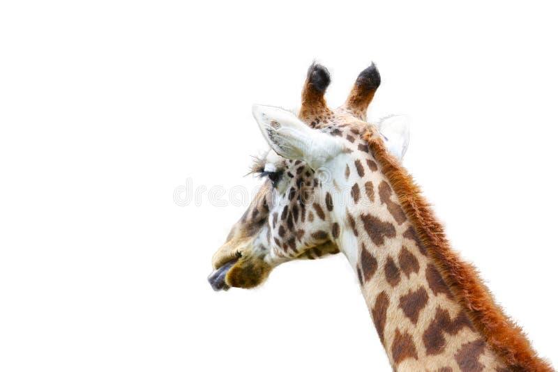` För camelopardalis för giraff`-Giraffa med tungan som isoleras ut på vit bakgrund royaltyfri bild