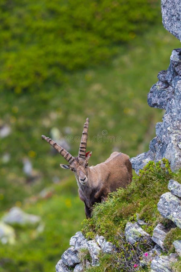 För caprastenbock för nära sikt manligt alpint anseende för capricorn i berg royaltyfri foto