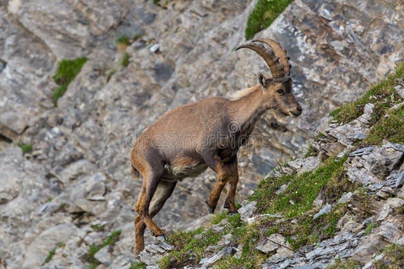 För caprastenbock för stående manlig alpin klippa för klättring för capricorn royaltyfria bilder