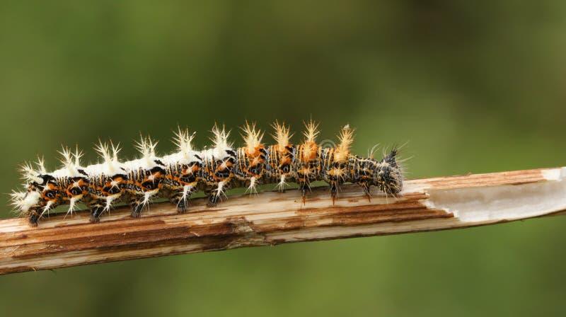 För Caterpillar för kommafjärilen ettalbum Polygonia sätta sig på stammen av en växt royaltyfria bilder