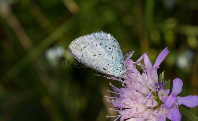För Celastrina för järnek blå fjäril argiolus i vår arkivbilder