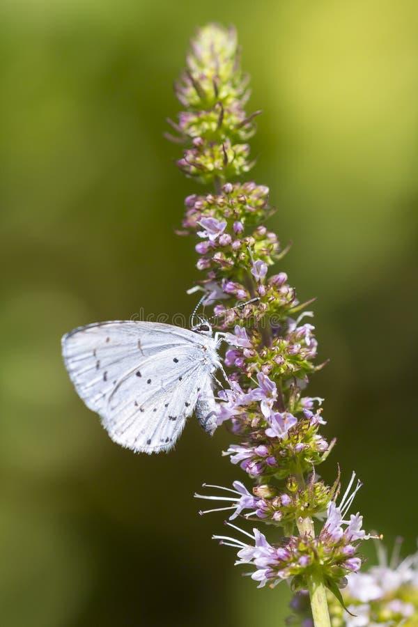 För Celastrina för järnek blå matning för fjäril argiolus royaltyfri fotografi