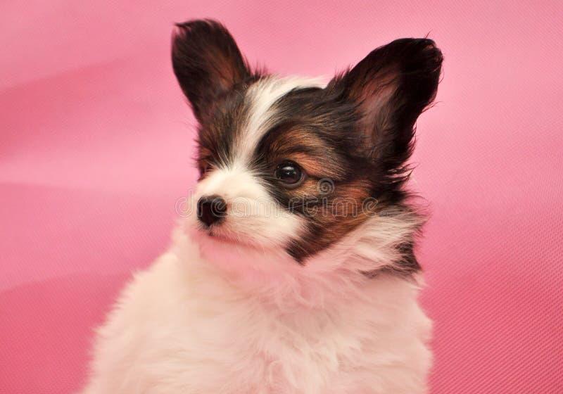 För Charles Puppy Cocker för Papillon tricolor tricolour tre färger för kontinental spanielhund spaniel hund arkivfoto