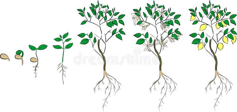 för citronreproduktion för bok botanisk tappning för tree royaltyfri illustrationer