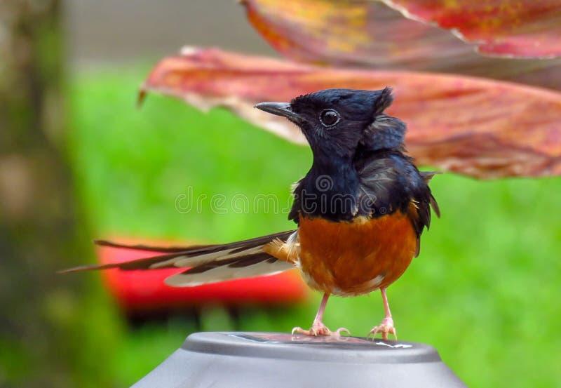 För Copsychus för vit-rumpedshamafågel svart malabaricus och orange fjädrar, Kauai, Hawaii, USA arkivbild