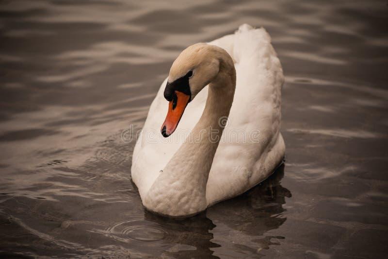 För Cygnusolor för stum svan simning i vatten royaltyfri bild