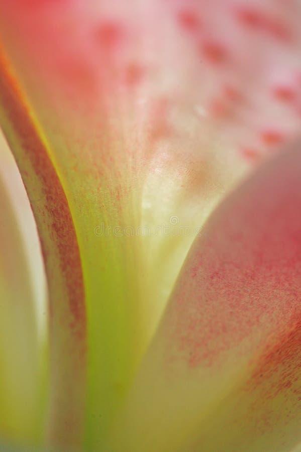 för dag petals lilly royaltyfria bilder