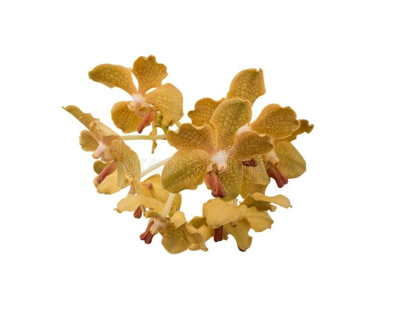 För den gula isolerade blomman för orkidén phalaenopsis- eller maldendrobiumen för närbild royaltyfria foton
