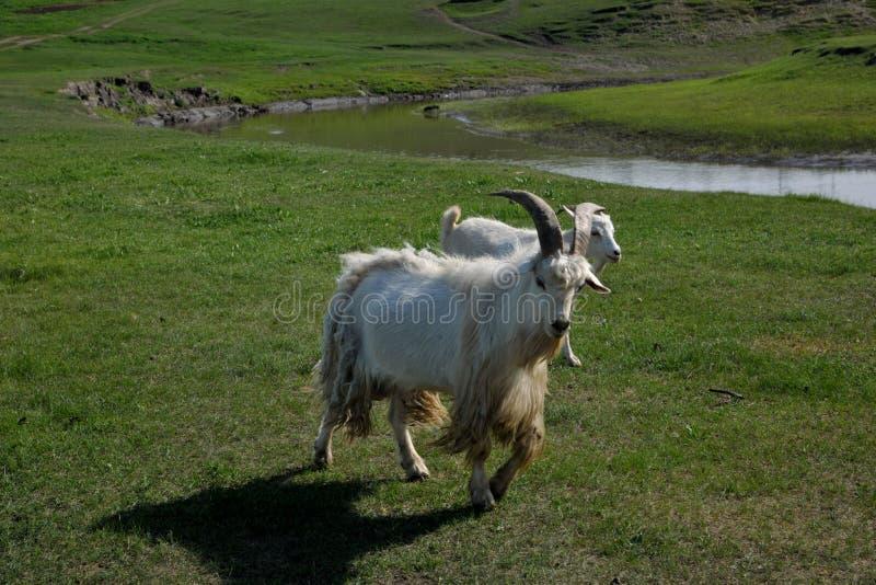För den Khan Mongolian för den guld- horden för den Mergel flodstranden flockas stammar stäppen royaltyfri bild