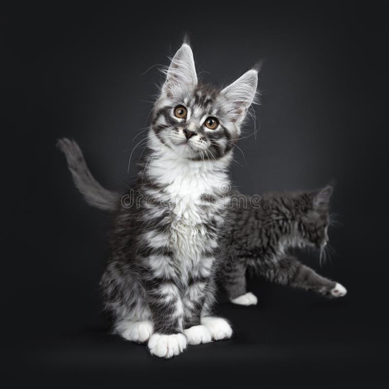 För den Maine Coon för strimmiga katten för Utesilver bombarderar den svarta kattungen katten med fotoet på svart bakgrund royaltyfria foton