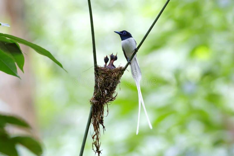 För den Terpsiphone för den asiatiska paradisflugsnapparen redet behandla som ett barn det paradisi vita morf arkivbilder