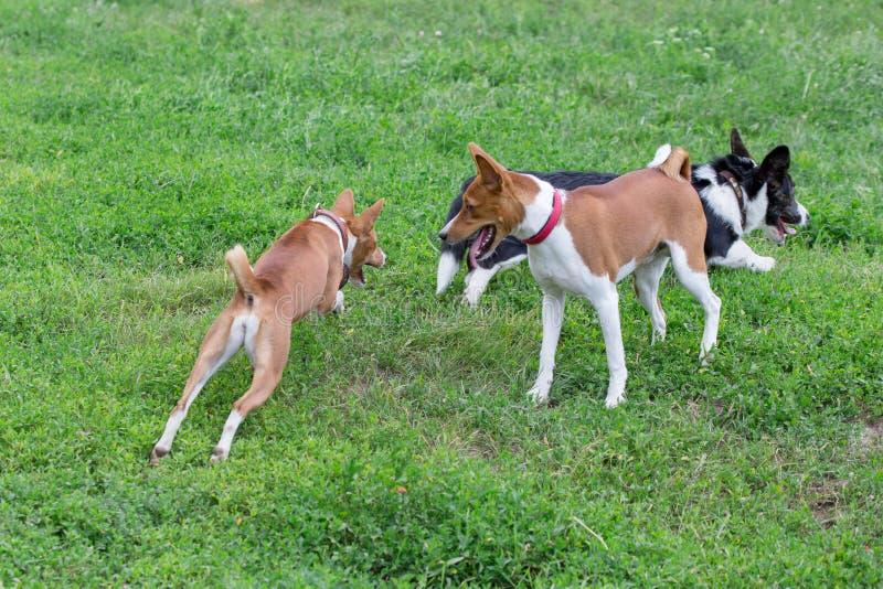 För den welsh för basenji två och pembrokevalpen corgien spelar på det gröna gräset ?lsklings- djur royaltyfri fotografi