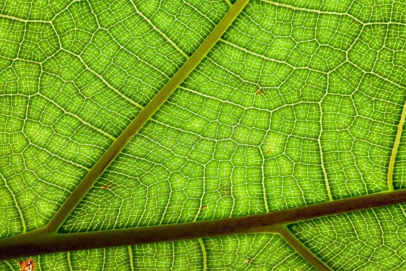 För Djungelleaf För Bakgrund Gröna åder För Växt För Modell Arkivfoton