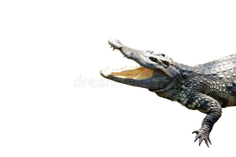 för djurkopia för krokodil en utrymme fotografering för bildbyråer