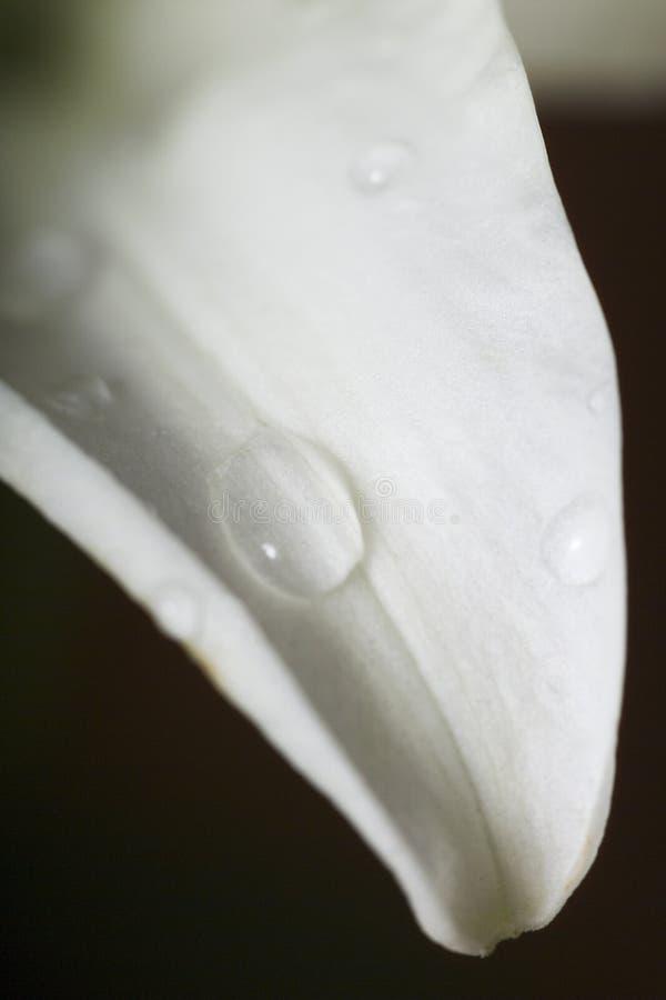 för droppe vatten för petal s lilly royaltyfria foton