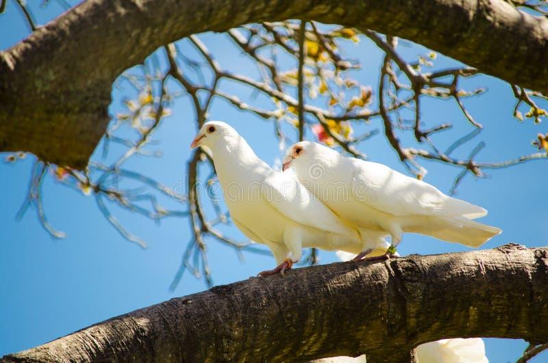 För duvafågel för härliga par vitt imperialistiskt stag på trädet arkivbilder