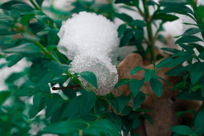 För evigt gör grön busken med små sidor, Búhus royaltyfria foton