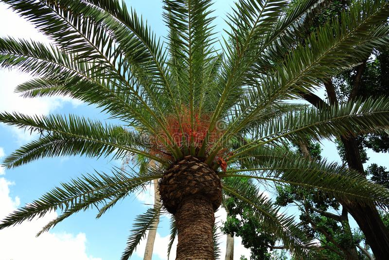 För evigt gör grön underbara palmträd på bakgrund för blå himmel arkivbilder