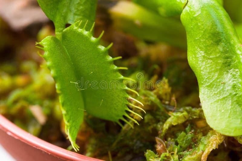För exotiskt dionaea kryp-äta rovdjurs- blommaVenus flytrap arkivbild