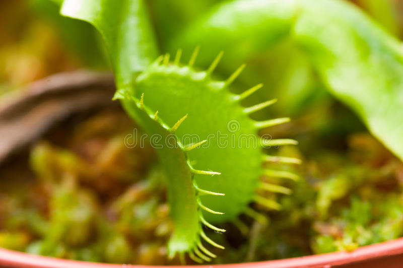 För exotiskt dionaea kryp-äta rovdjurs- blommaVenus flytrap arkivbilder