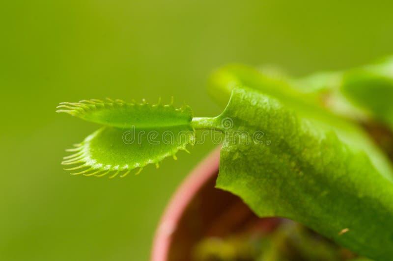 För exotiskt dionaea kryp-äta rovdjurs- blommaVenus flytrap i en grön bakgrund arkivfoto