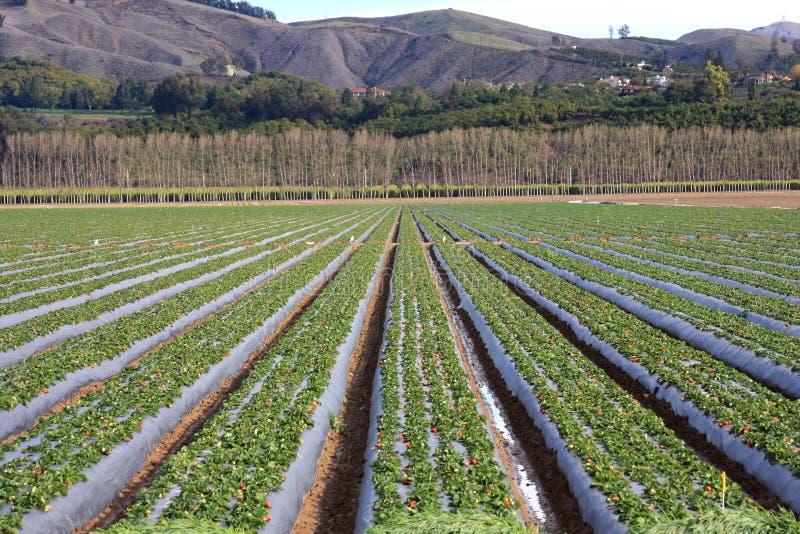för fält jordgubbe för alltid royaltyfri foto