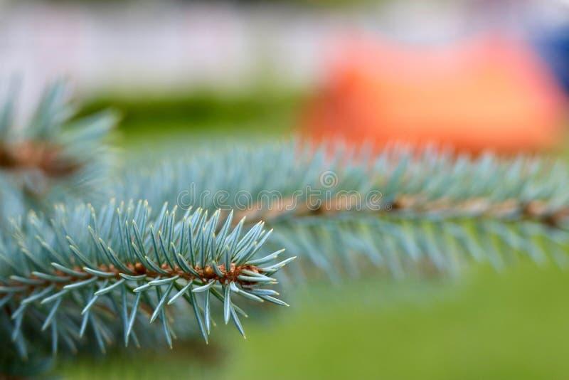 för filialsäsong för bakgrund blå vinter för spruce för sky arkivbilder