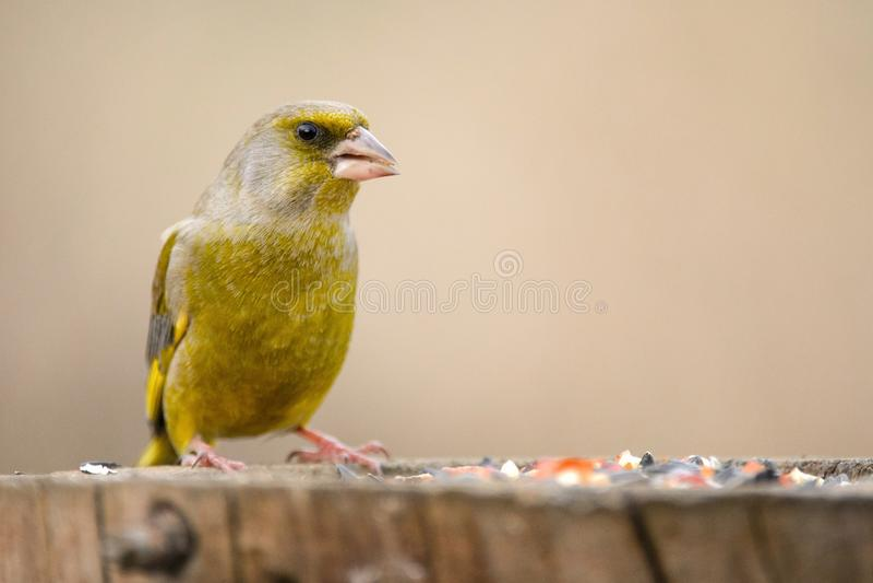 För finkCarduelis för europé grön chloris på vinterfågelförlagemataren arkivfoto