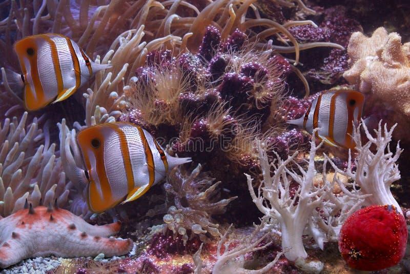 för fisksixspine för fjäril färgglad sjöstjärna arkivbilder