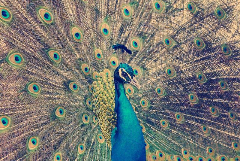 för fjädrar påfågel ut fotografering för bildbyråer