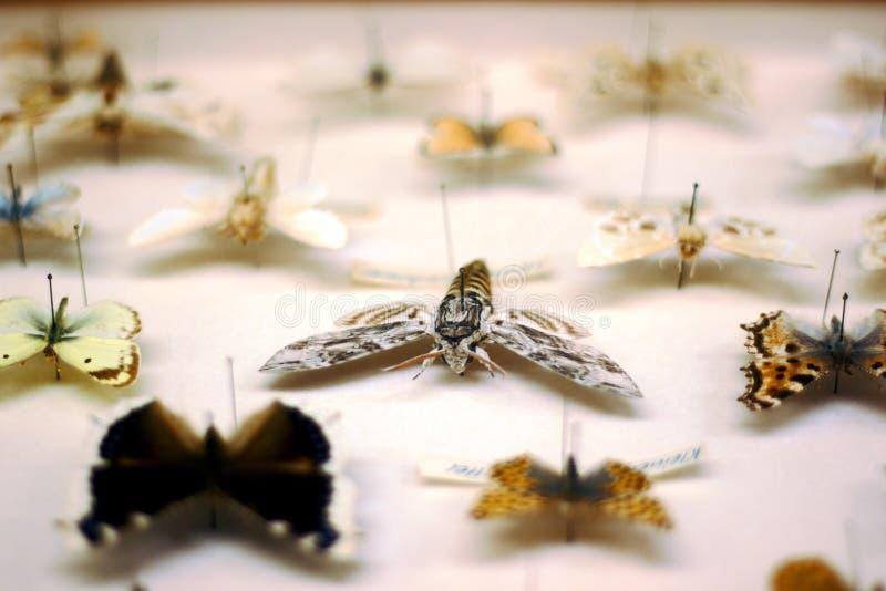 för fjärilsfjäril för blå ask red för samling Ligusterhökmal i fokus royaltyfria foton