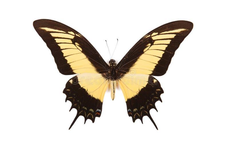 för fjärilspapilio för androgeus svart yellow arkivfoton