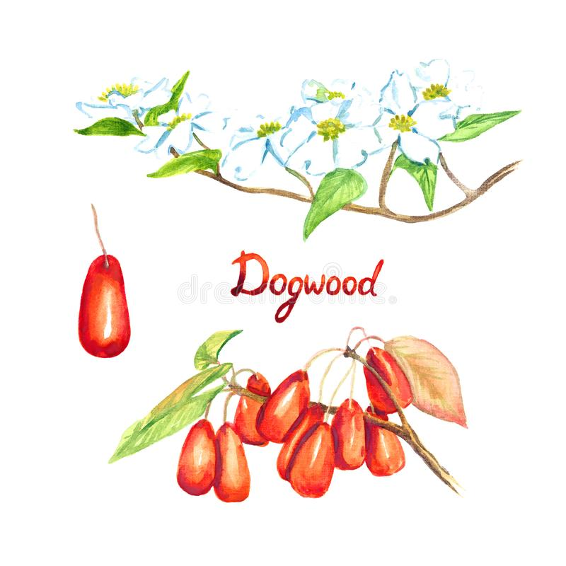 För florida för skogskornellfilialCornus skogskornell blomning med blommor och bär stock illustrationer