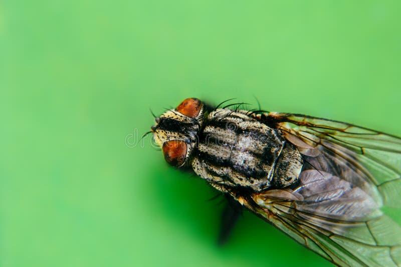 För fluga eller klipsk Muscadomestica för hemhjälp med extremt makroslut för två stort sammansatta ögon upp fotoet arkivfoto