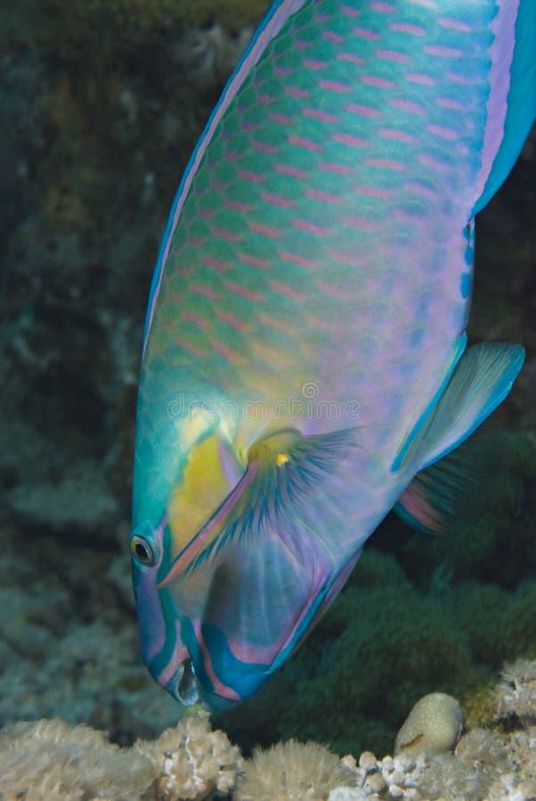 för foragingparrotfish för bullethead rev royaltyfria bilder
