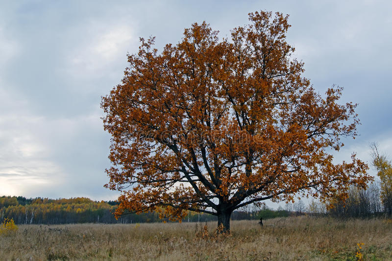 för formatillustratör för 8 extra eps tree för oak royaltyfria bilder