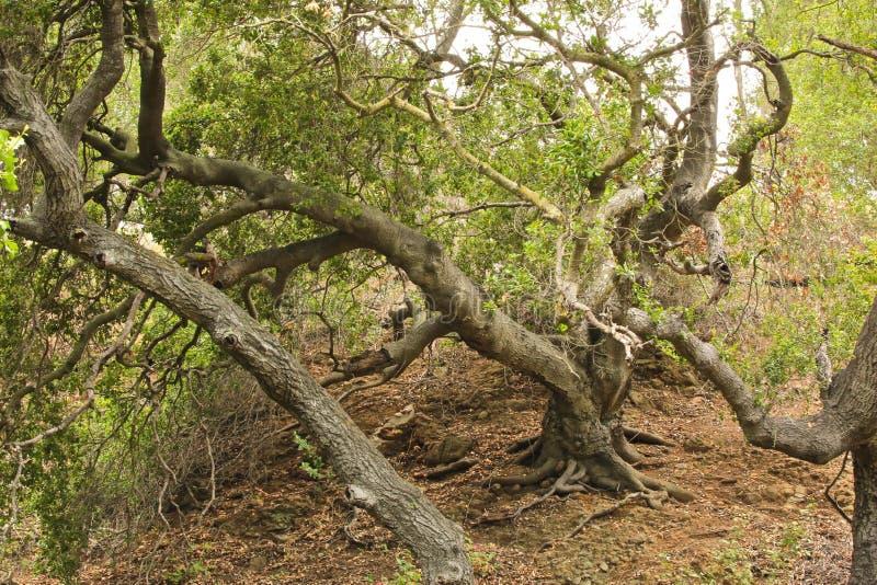 för formatillustratör för 8 extra eps tree för oak royaltyfri fotografi