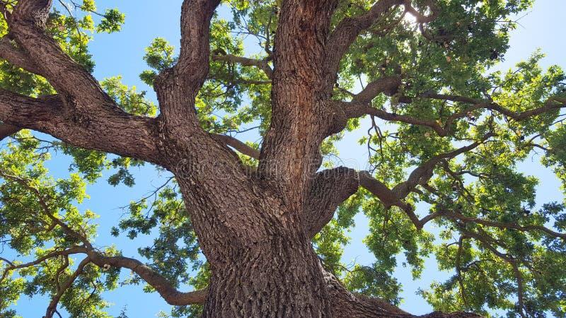 för formatillustratör för 8 extra eps tree för oak royaltyfri foto