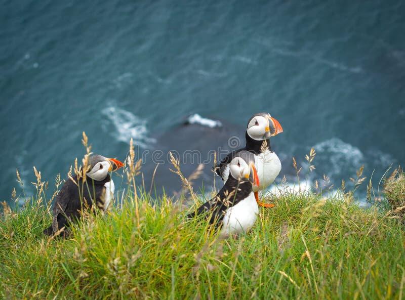För fraterculaarctica för tre lunnefåglar anseende på en gräs- klippa över bränningvatten av Atlanticet Ocean arkivfoto