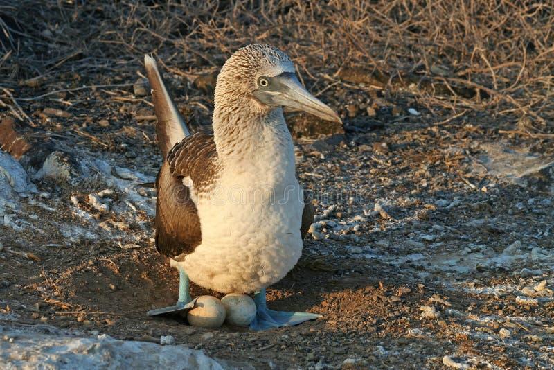 för galapagos för blå booby footed rede manlig arkivfoto