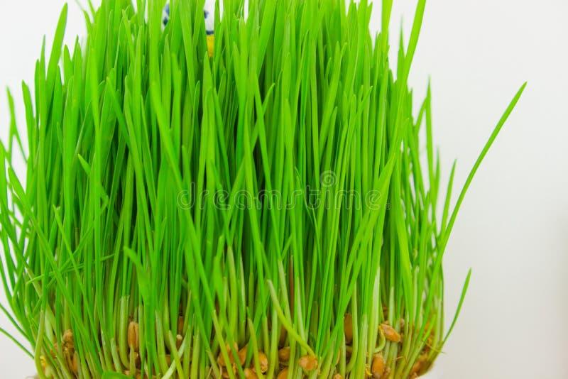 för gräsgreen för bakgrund ny white fotografering för bildbyråer