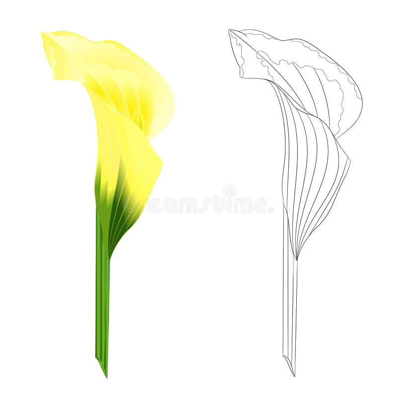 För gul naturliga örtartade perenna dekorativa växter liljablomma för Calla och att skissera på en vit illustrat för bakgrundstap royaltyfri illustrationer