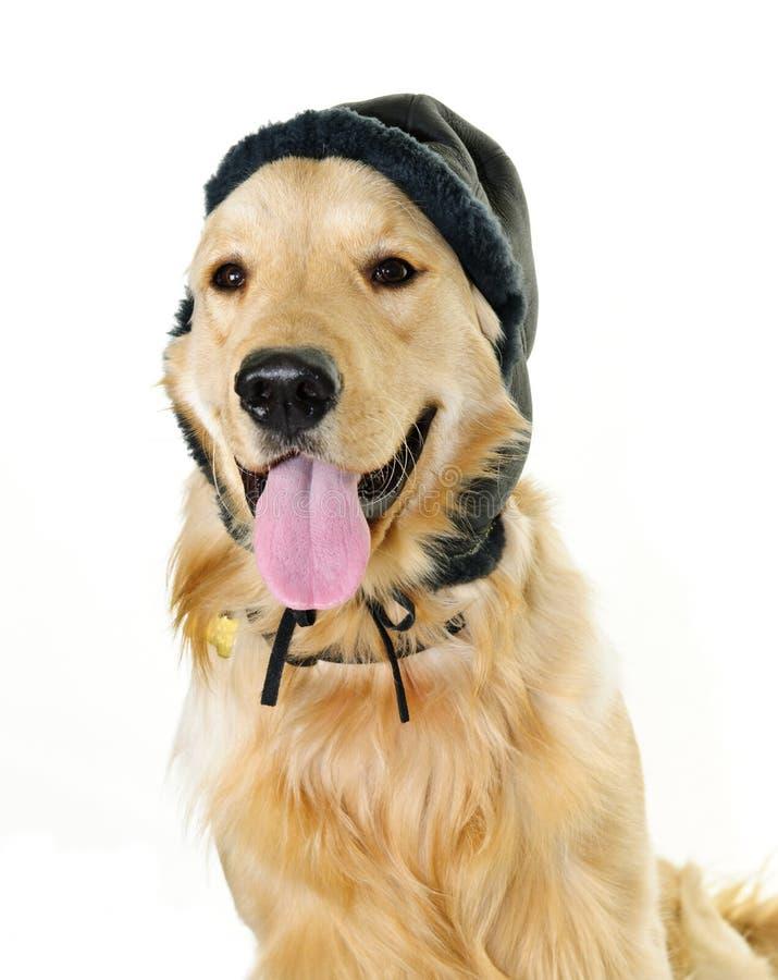 för guld- slitage vinter hattretriever för hund arkivbilder