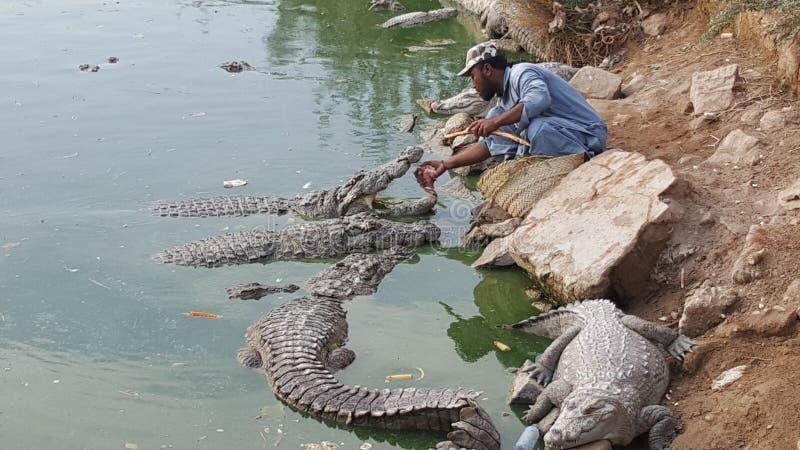 För handmatningar för ung man en krokodil royaltyfria bilder